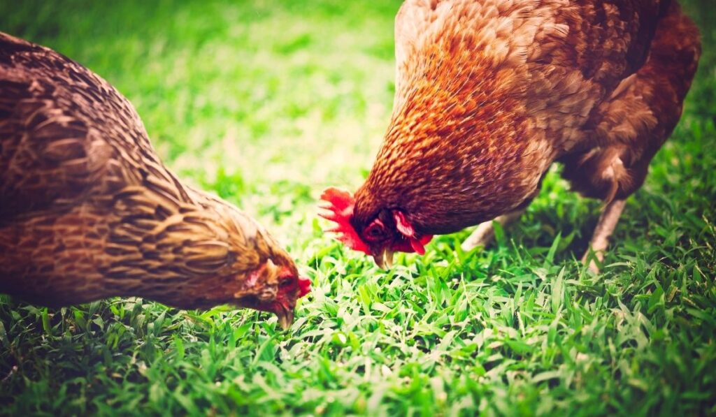 two chickens pecking on the ground