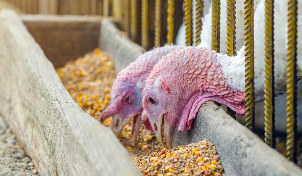 two turkeys eating grains