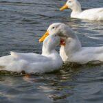 Adorable Ways Ducks Show Affection