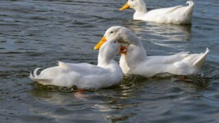 white ducks biting