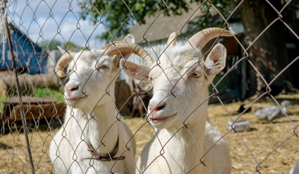 white goats in the pen