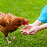 9 Must-Have Items for Raising Chickens