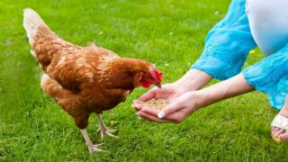 woman-hand-feeding-a-chicken
