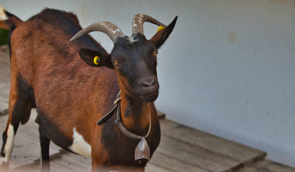Goat with horns standing on a wooden deck.
