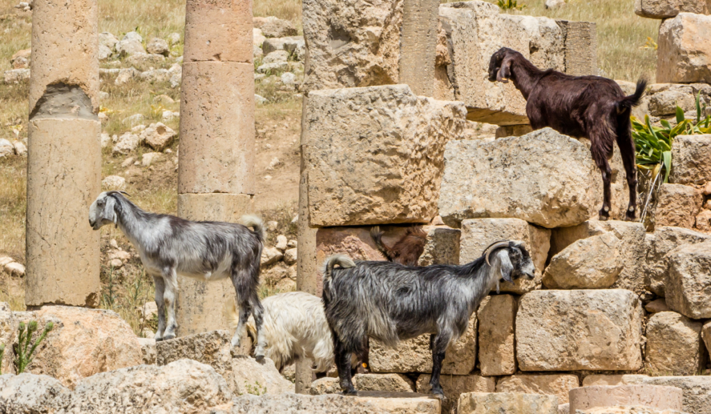 Three goats standing on the ruins.