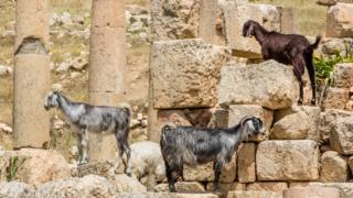 Damascus-Goat