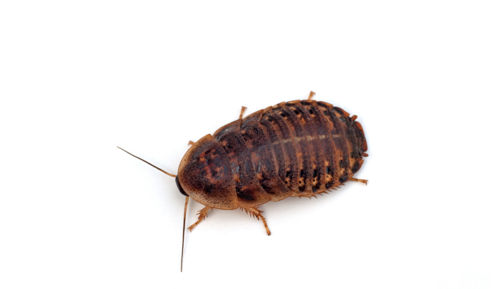 Roach on a white background