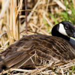 Will a Goose Sit on Bad Eggs (and 9 Other Fun Facts About Goose Incubation)