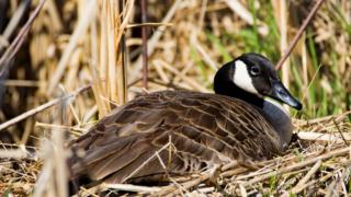 Goose sitting down