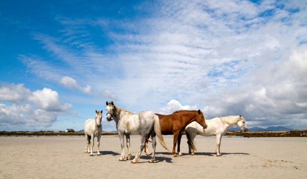 Irish-Draught-horses-and-a-pony