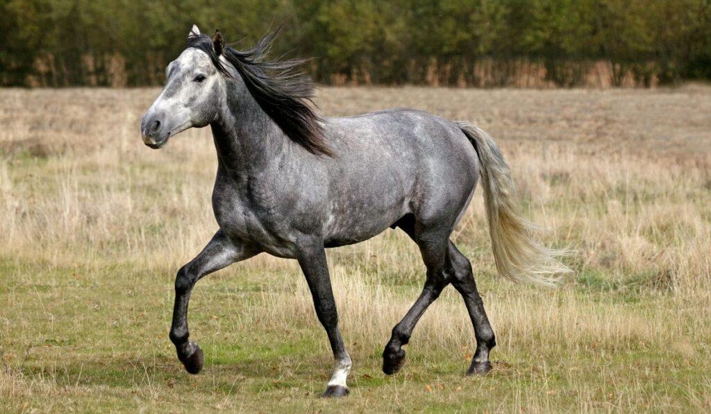 Lusitano-horse