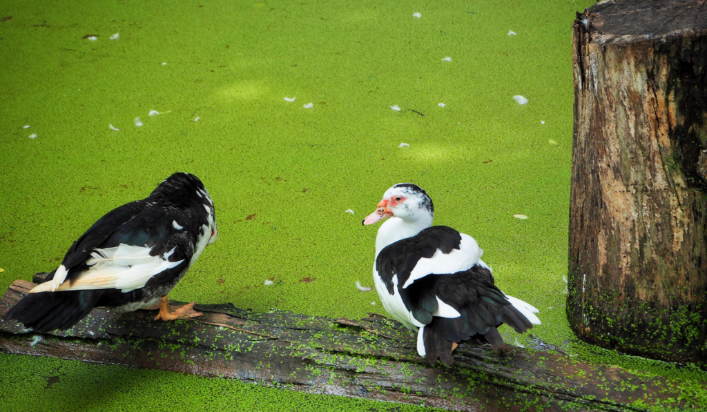 Two Magpie Ducks resting on the wood with green algae.