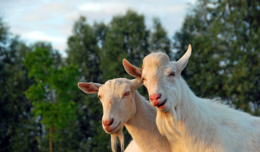 Close up picture of two white goats.