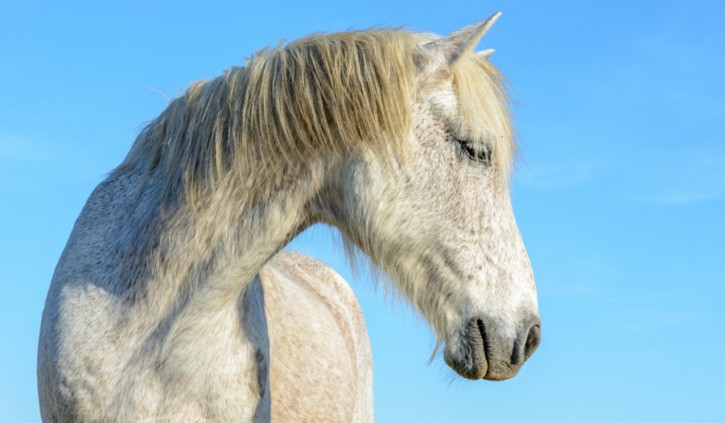 Close up picture of a white horse with sky as a background