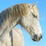 White Draft Horse Breeds