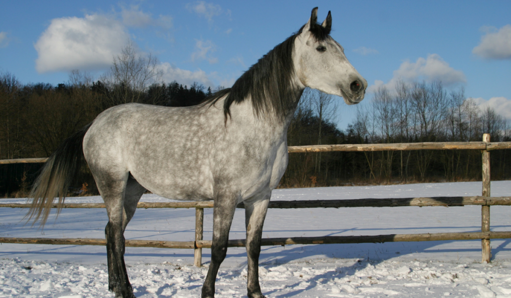The Shagya Arabian standing on the snow.