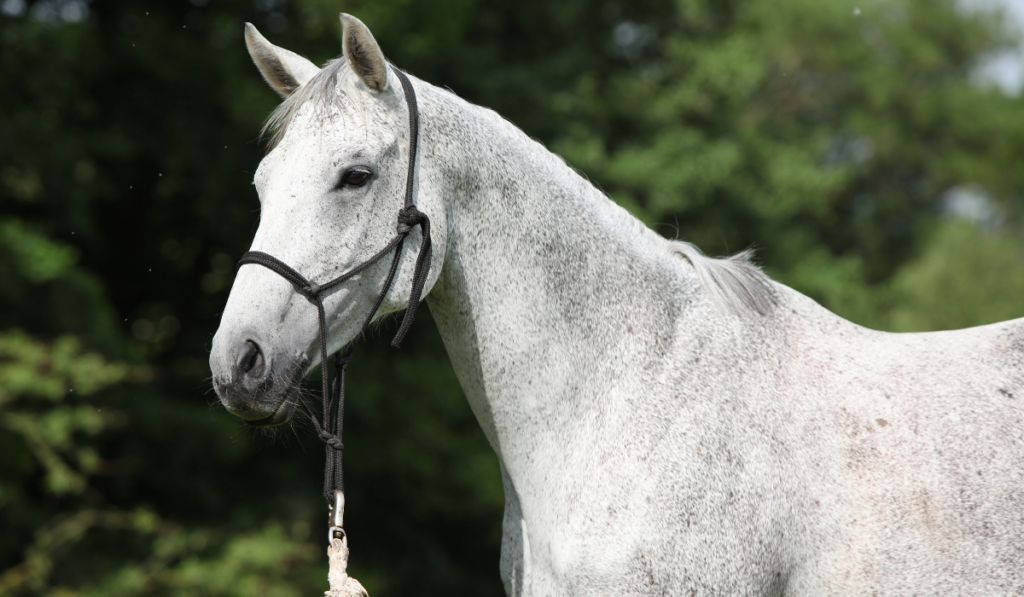 White horse with black nose band on a green background
