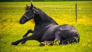 black-Friesian-horse-lying-on-the-grass