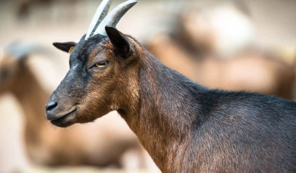 brown-haired-goat-with-horns