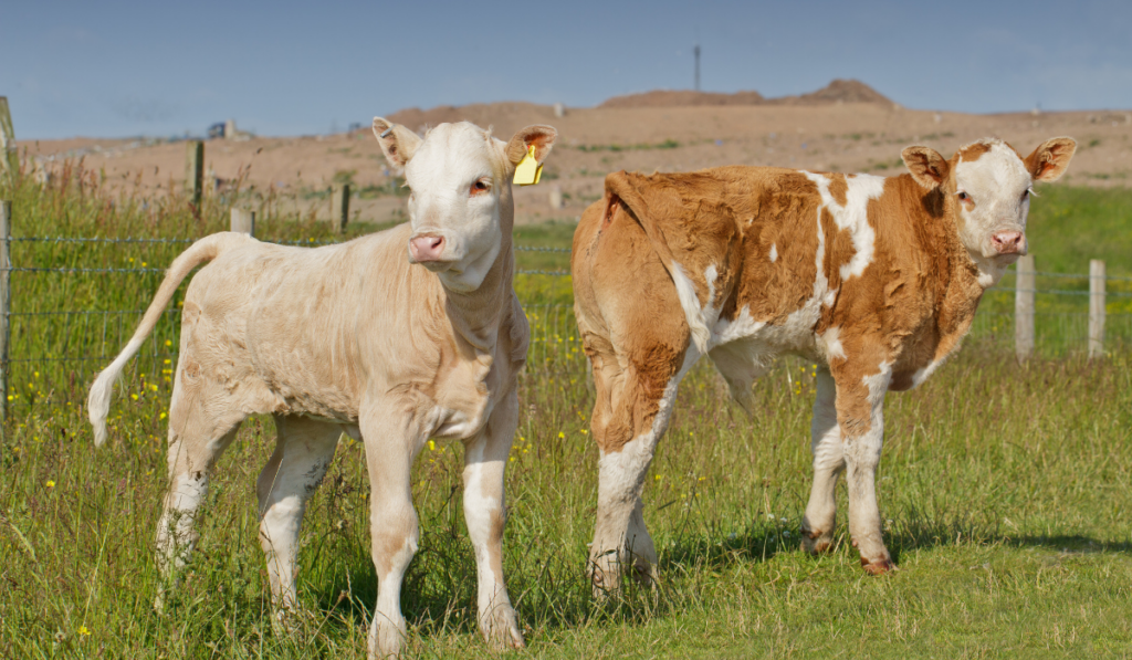 Two cute calves in the field