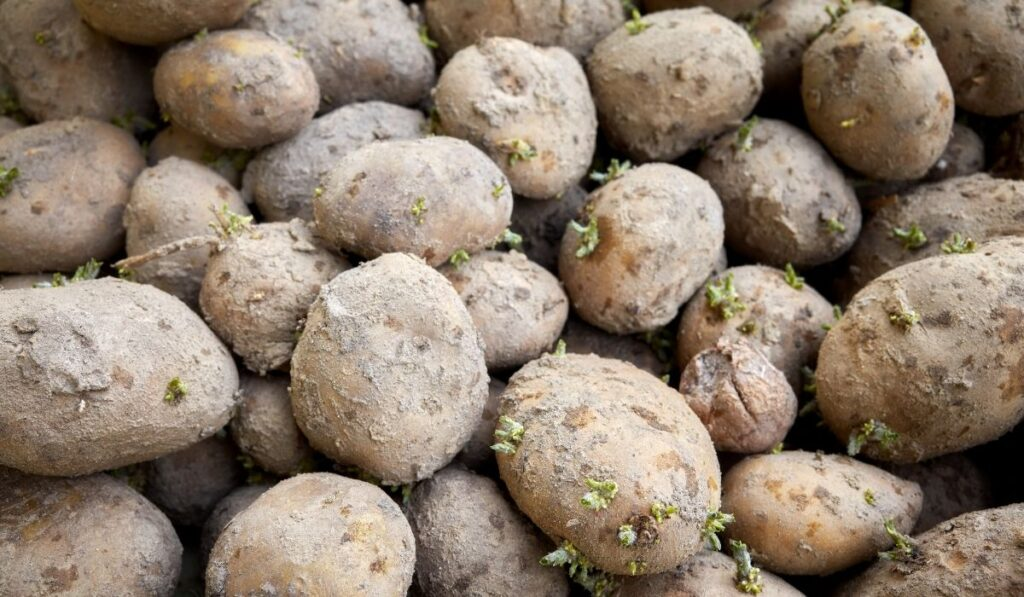 close-up-of-bad-potatoes-with-sprouts