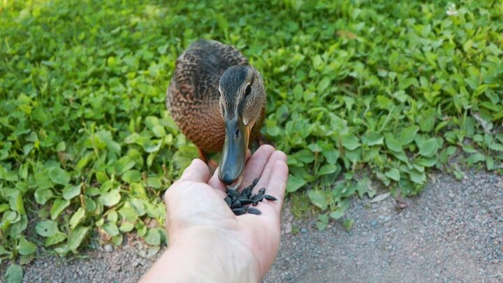 duck-eating-sunflower-seeds-from-human-hand
