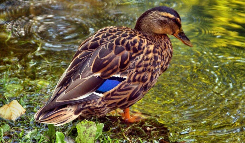 duck-in-water