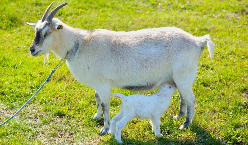 mother goat nursing her kid