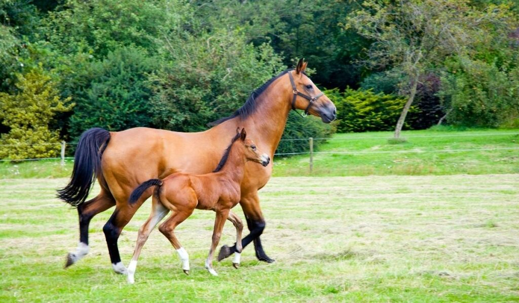 mother horse with a foal