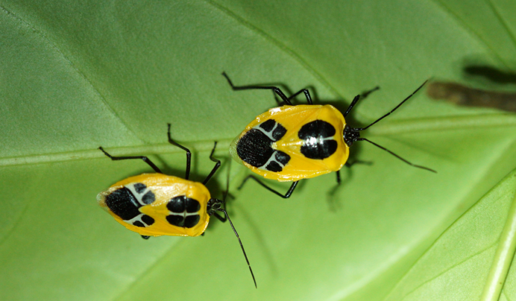 Yellow black stink bugs