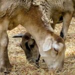 Goats Losing Hair? 6 Things To Check For