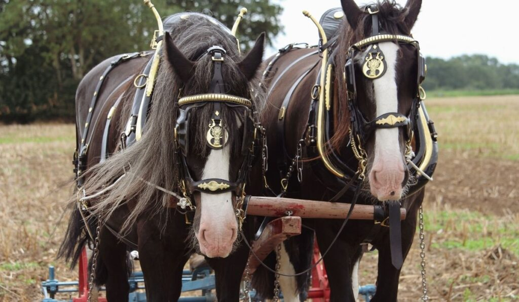 two-working-Shire-Horse