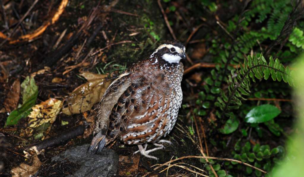 Bobwhite Quails standing on the ground with fallen leaves.