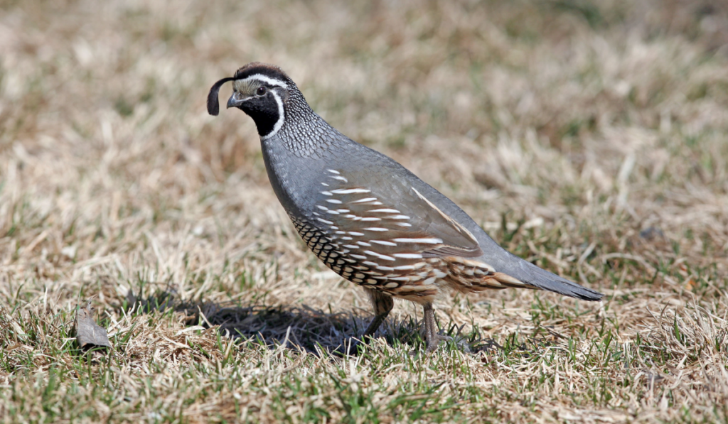 California Quail standing on the ground.