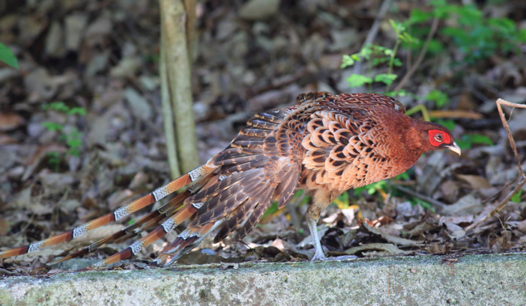 Copper Pheasants walking in the cemented ledge.