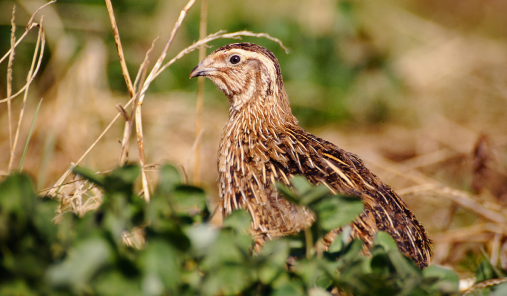 Coturnix Quail side view photo in the garden.