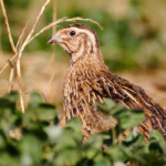 9 Types of Quail You Can Raise on the Farm