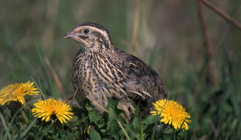 Coturnix Quail standing on the grass with yellow flowers