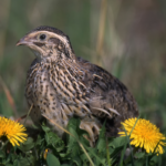 3 Best Quail Breeds for Meat
