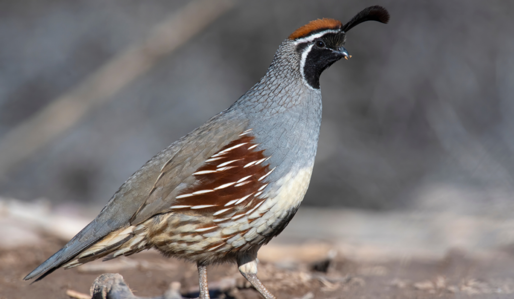 Gambel Quail standing on the ground.