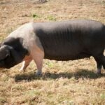 Top 10 Pig Breeds for Beginners