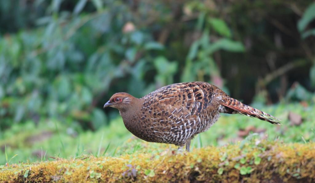 Mikado Pheasant standing on the ground.
