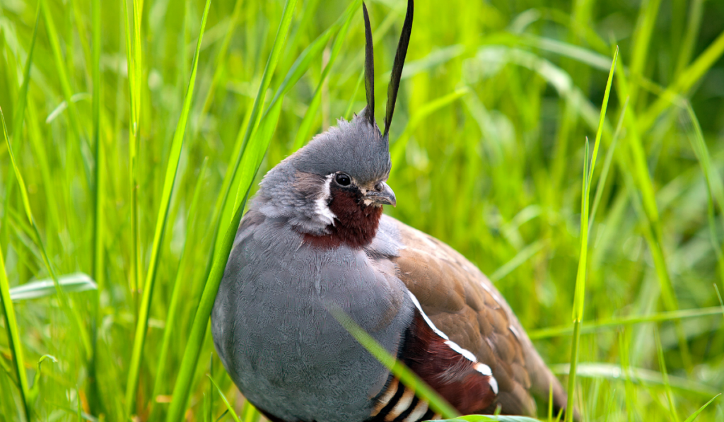 Mountain Quail standing with a green grass background.