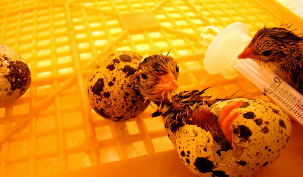 Newly hatched quail chicks inside the incubator.