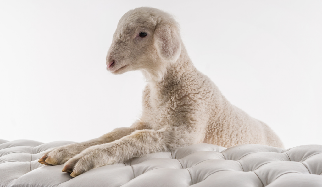 Baby sheep hooves on white chair shot on a white background.