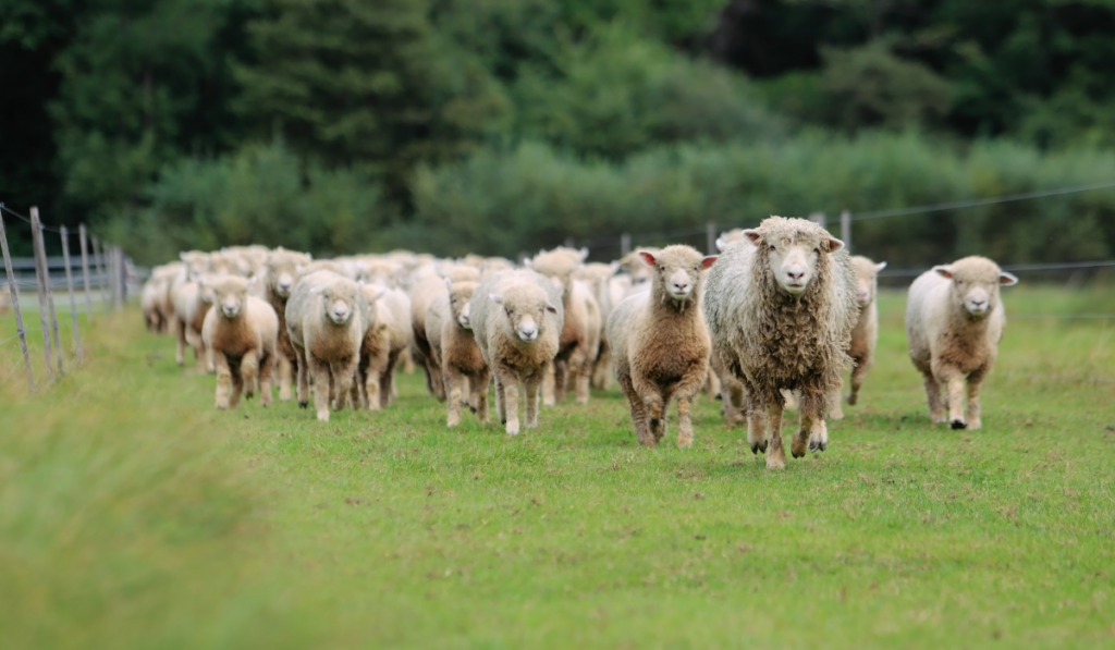 Crowd of sheep running in the field.