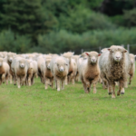 5 Facts About Sheep Hooves (And How to Care For Them)