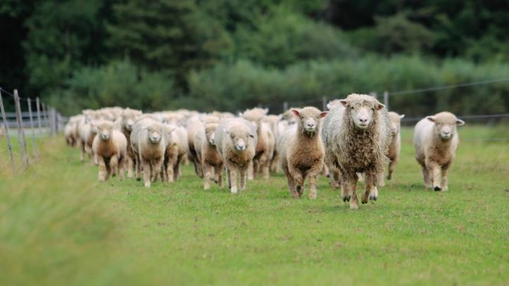 Sheep-Hooves