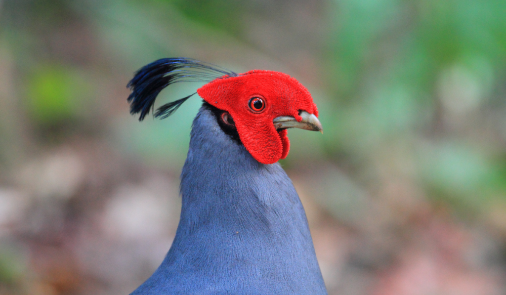 Head-shot picture of Siamese Firebacks with blurry picture.
