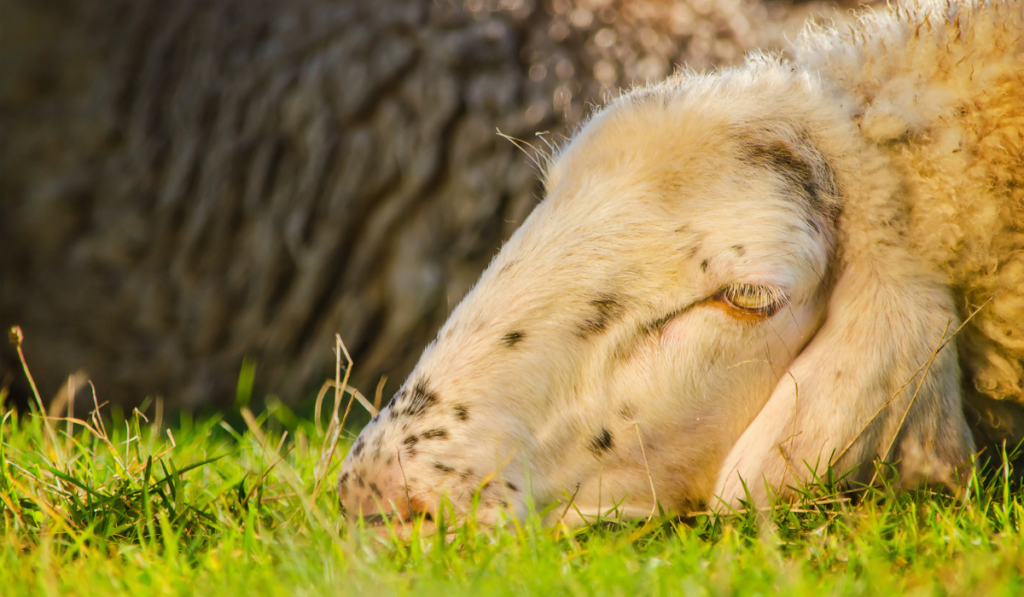Sick-Sheep